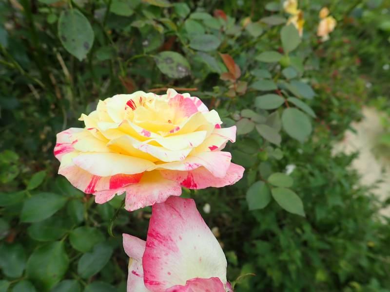 rosier 'Camille Pissaro' - Page 2 P9130025