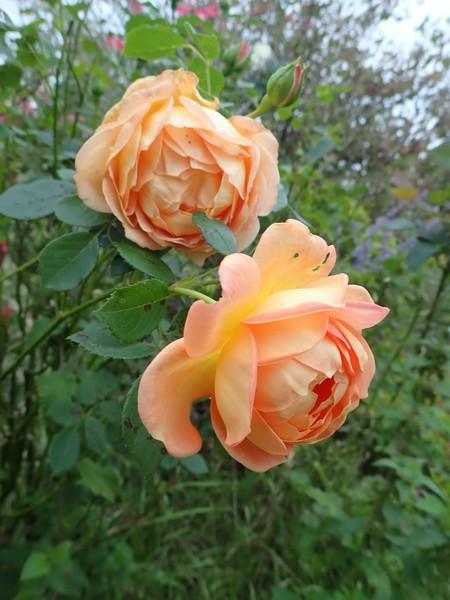 rosa 'lady of shalott' - Page 5 Pa020014