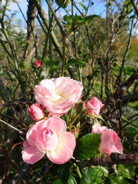 Rosa 'Bouquet Parfait' !!! - Page 10 Pa110127