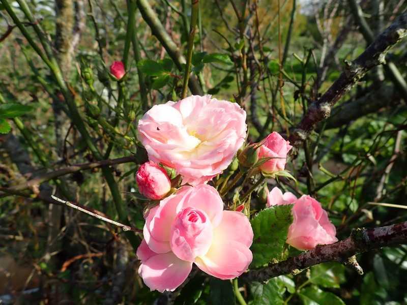 Rosa 'Bouquet Parfait' !!! - Page 10 Pa110128