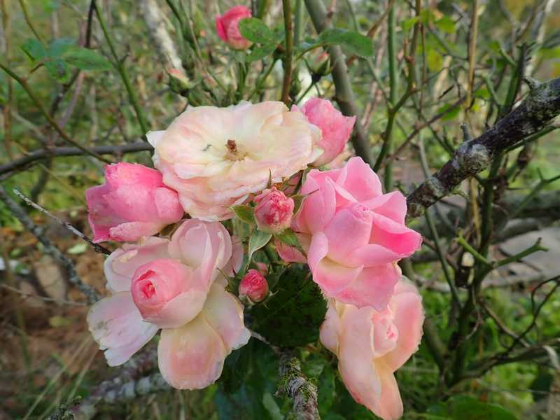 Rosa 'Bouquet Parfait' !!! - Page 10 Pa230029