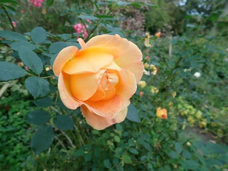 rosa 'lady of shalott' - Page 6 Pa240138