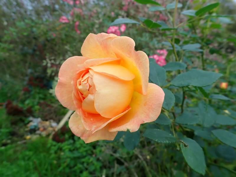 rosa 'lady of shalott' - Page 6 Pa240139