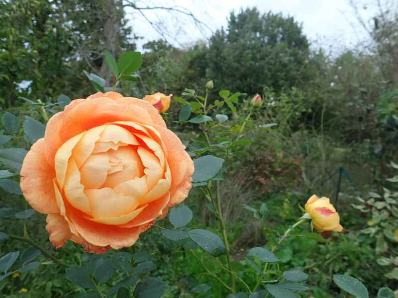 rosa 'lady of shalott' - Page 6 Pb020018
