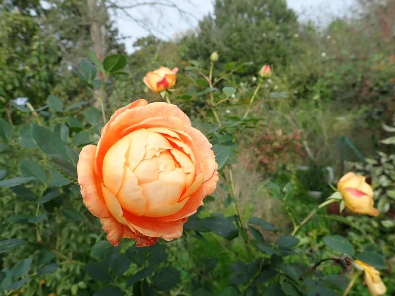 rosa 'lady of shalott' - Page 6 Pb020019