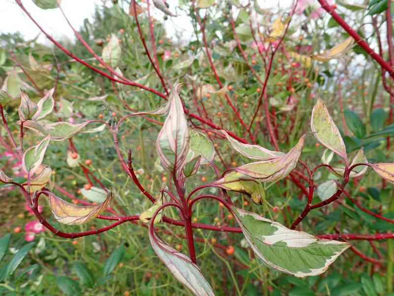 Cornus sanguinea - cornouiller sanguin Pb030010