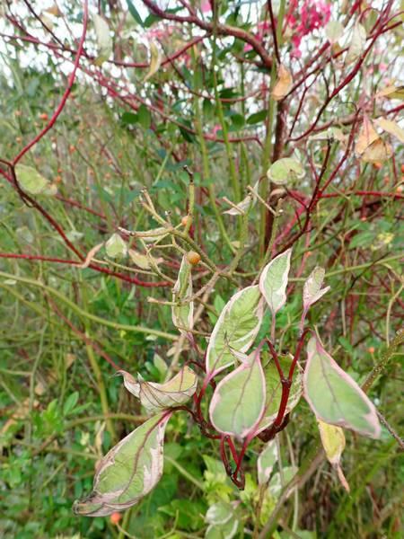 Cornus sanguinea - cornouiller sanguin Pb030011