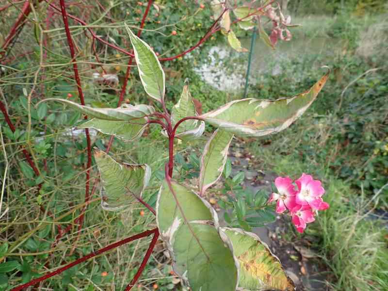 Cornus sanguinea - cornouiller sanguin Pb030012