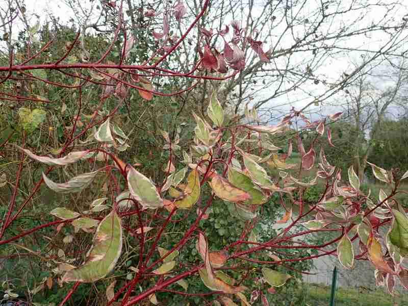 Cornus sanguinea - cornouiller sanguin Pb030016
