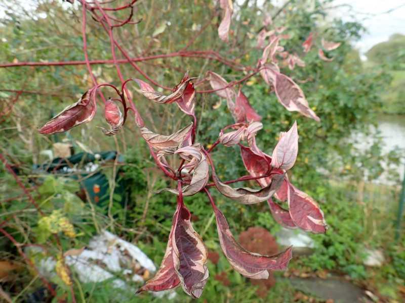 Cornus sanguinea - cornouiller sanguin Pb030020