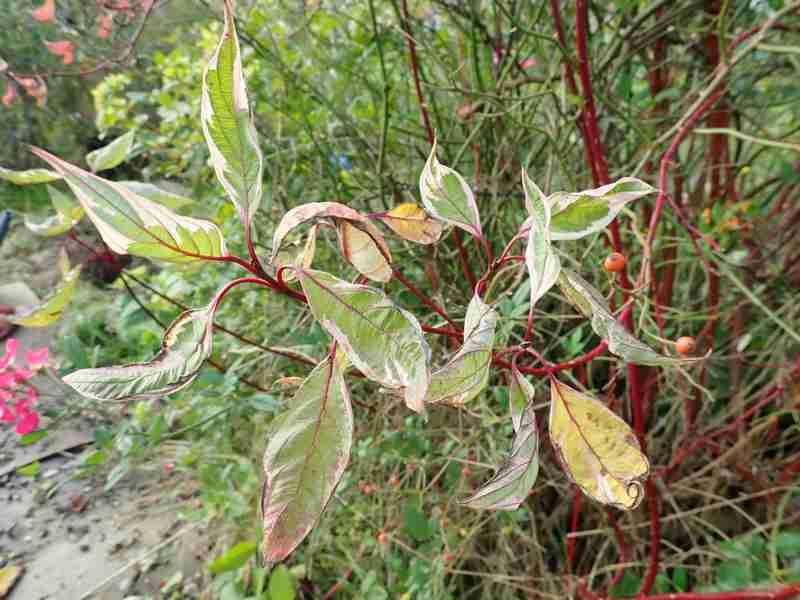 Cornus sanguinea - cornouiller sanguin Pb030022