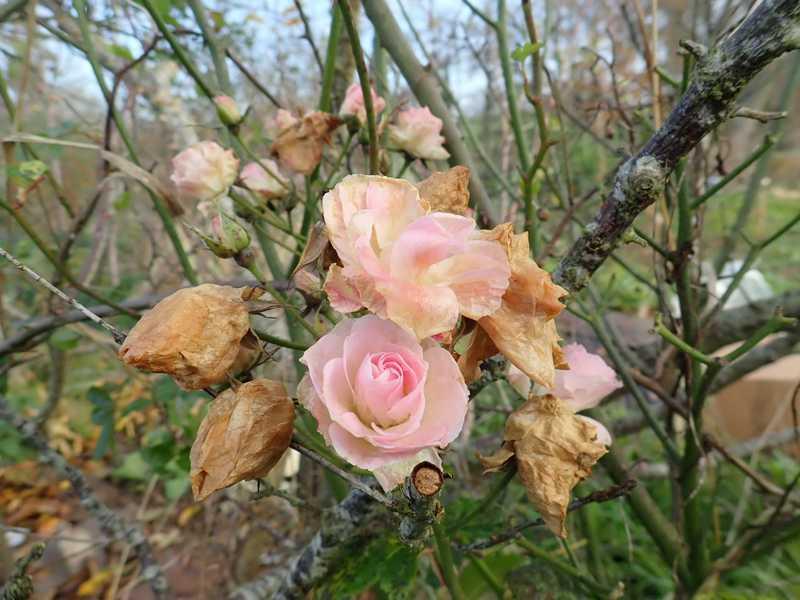 Rosa 'Bouquet Parfait' !!! - Page 10 Pb070011