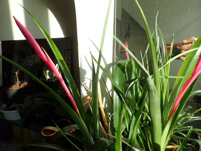 Billbergia nutans - Page 5 Pc180012