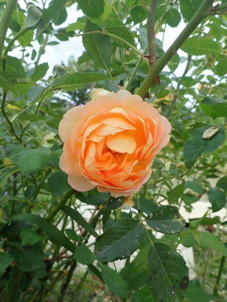 rosa 'lady of shalott' - Page 4 Samedi32