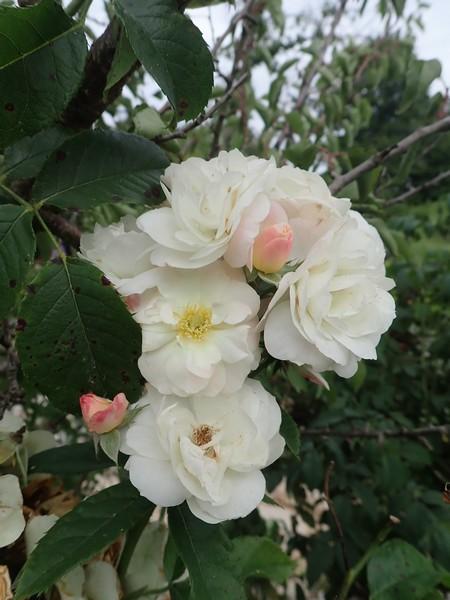 Rosa 'Bouquet Parfait' !!! - Page 8 Samedi33