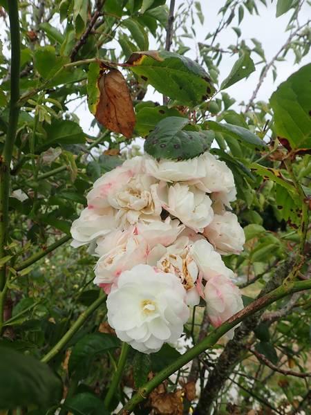 Rosa 'Bouquet Parfait' !!! - Page 8 Samedi34