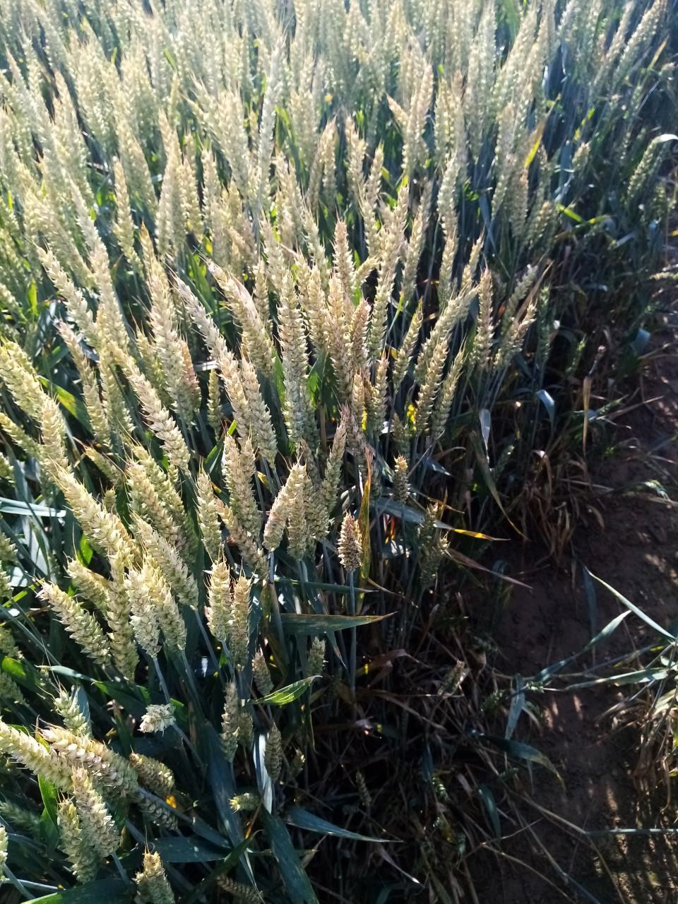 suivi blé 2021 - Page 6 Thumbn18