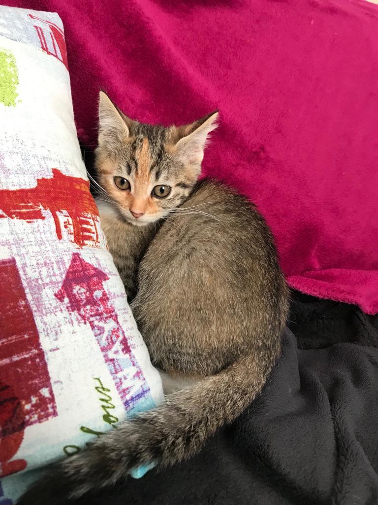 Patchouli, femelle type européen tricolore, née le 28 juin 2019 Img-2010