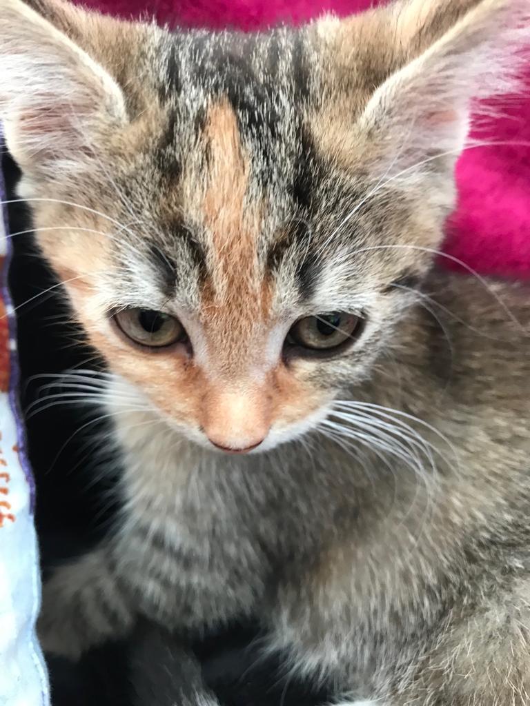 Patchouli, femelle type européen tricolore, née le 28 juin 2019 Img-2011