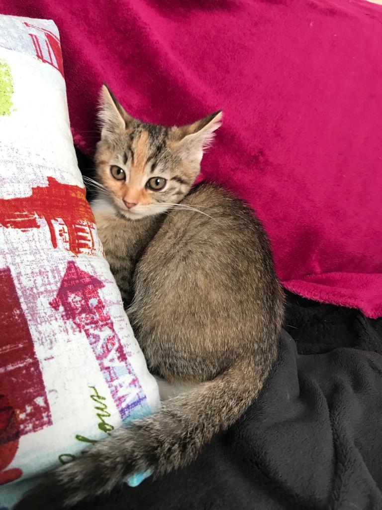 Patchouli, femelle type européen tricolore, née le 28 juin 2019 Img-2012