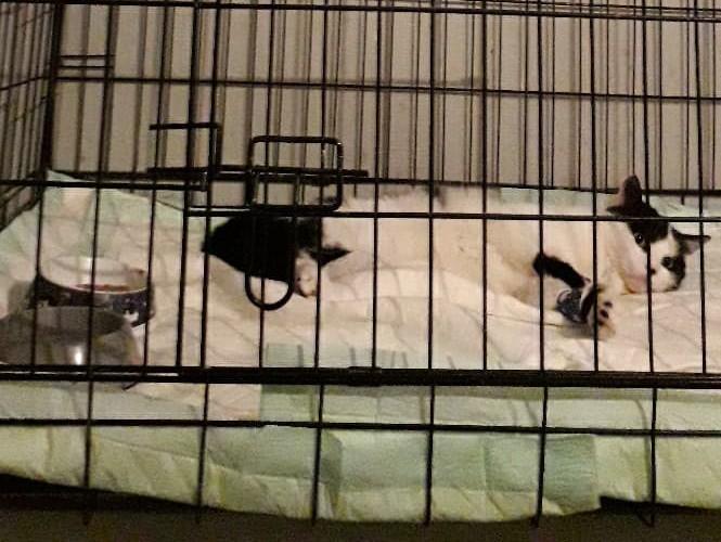 Chat noir et blanc blessé - Langres Luky10