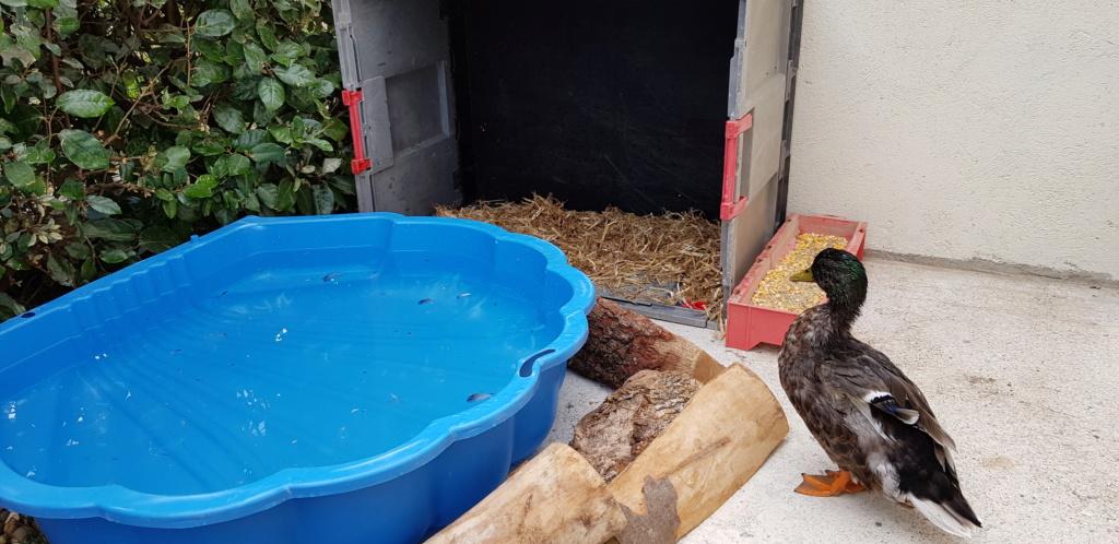un canard avec mes poules 20190610
