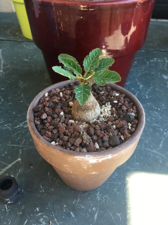 Euphorbia sp nova Madagascar 3338b710