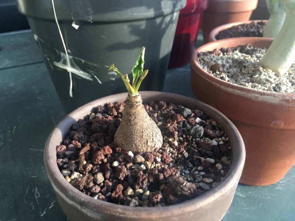 Euphorbia sp nova Madagascar 678e6a10