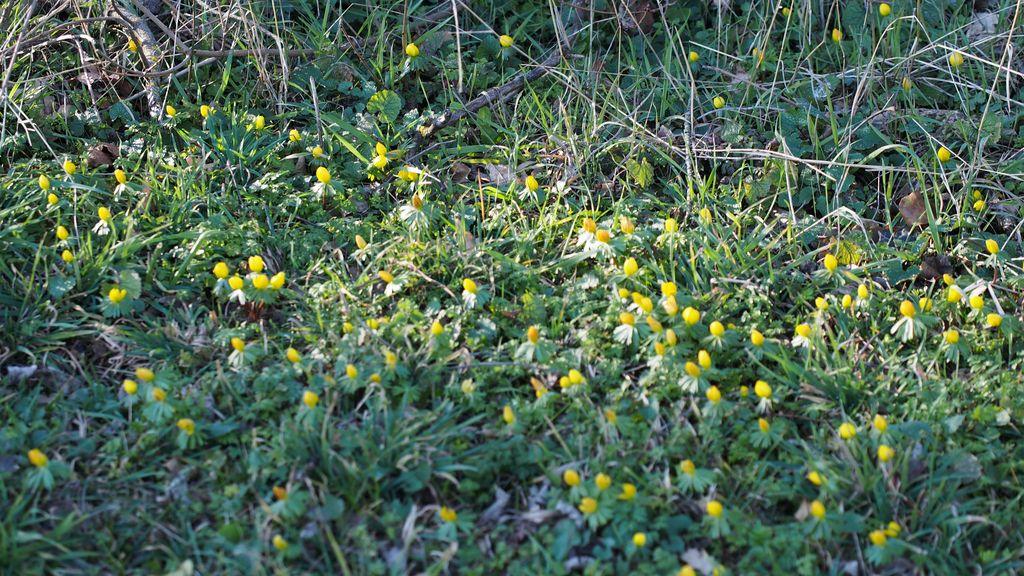 Eranthes en fleur au col du Fau (38) P2120910