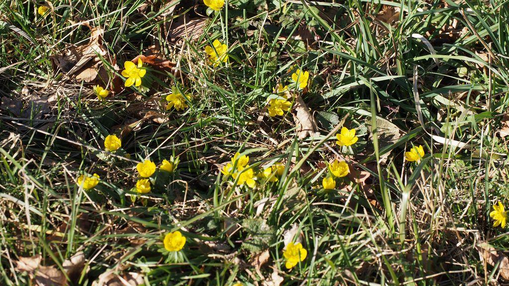 Eranthes en fleur au col du Fau (38) P2120911