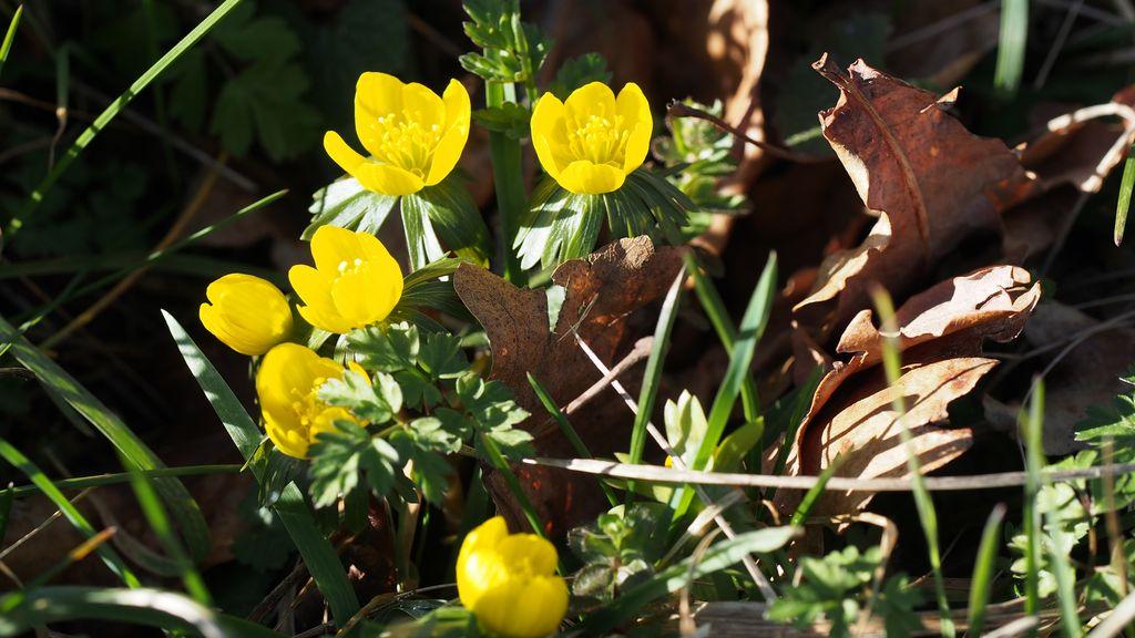 Eranthes en fleur au col du Fau (38) P2120913