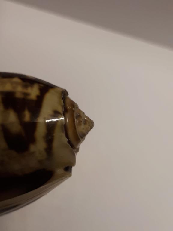 Miniaceoliva miniacea 20190512