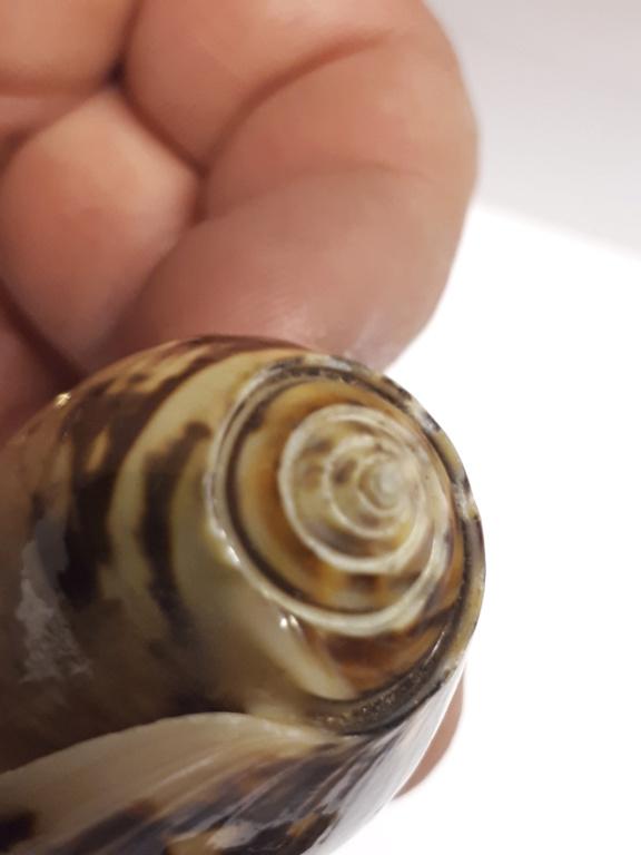 Miniaceoliva miniacea 20190513