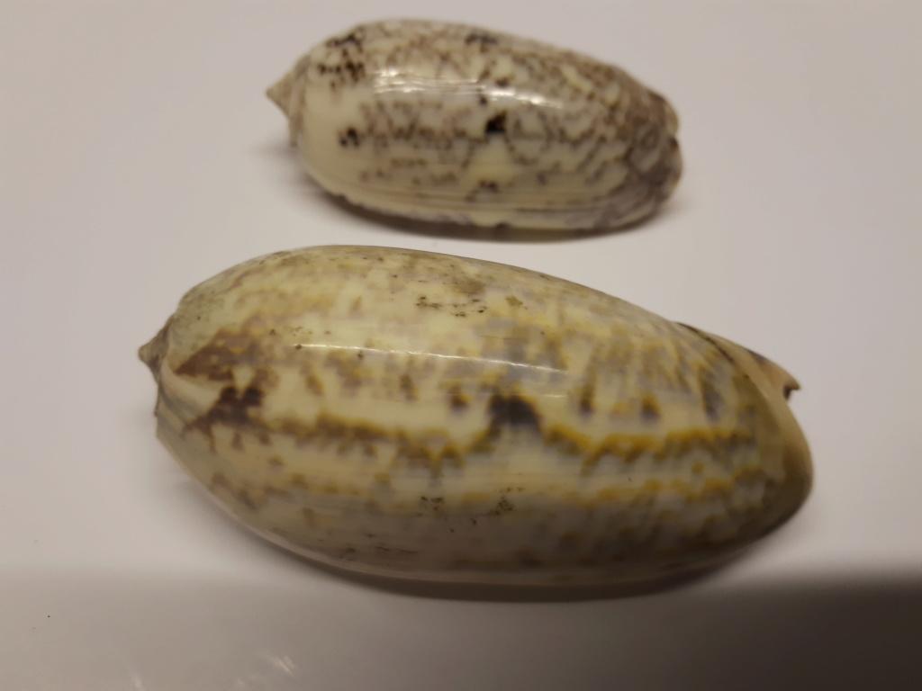 Olividae à identifier svp... 20190524