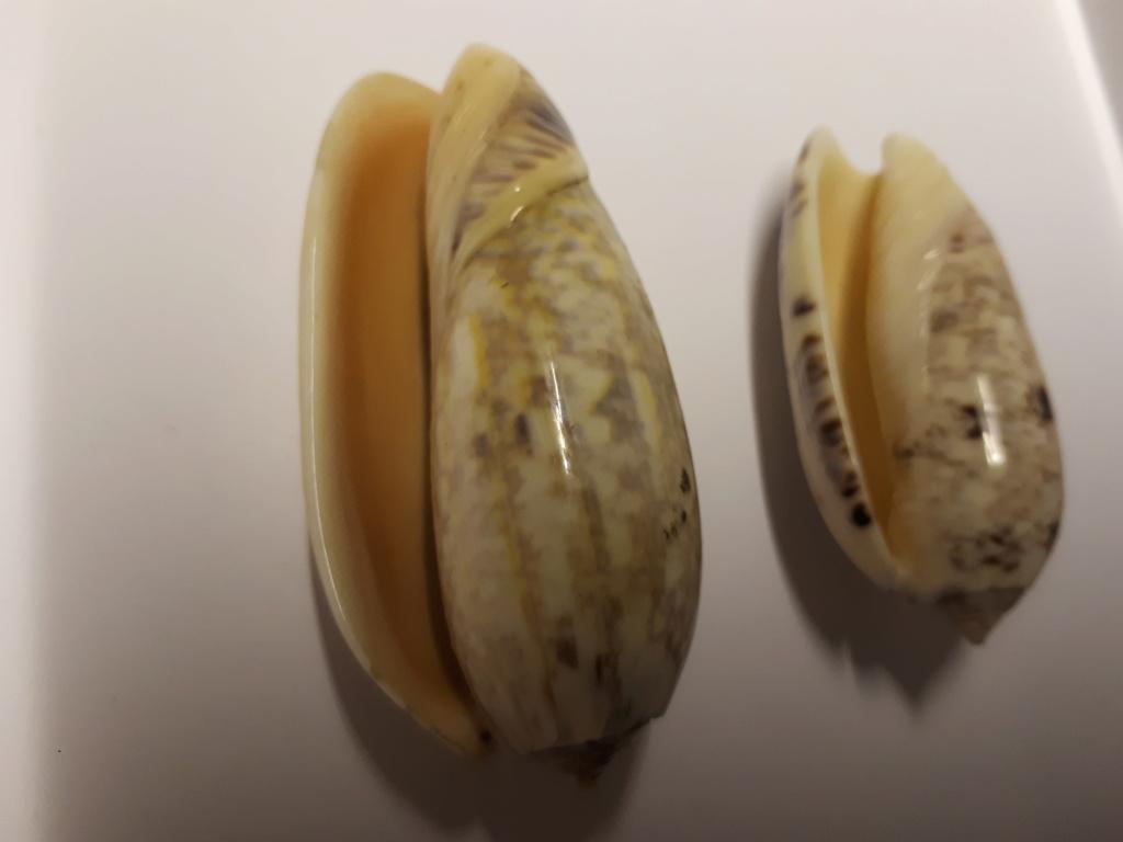 Olividae à identifier svp... 20190525