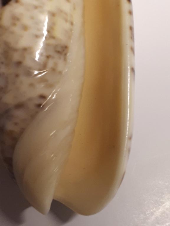Olividae à identifier svp... 20190526