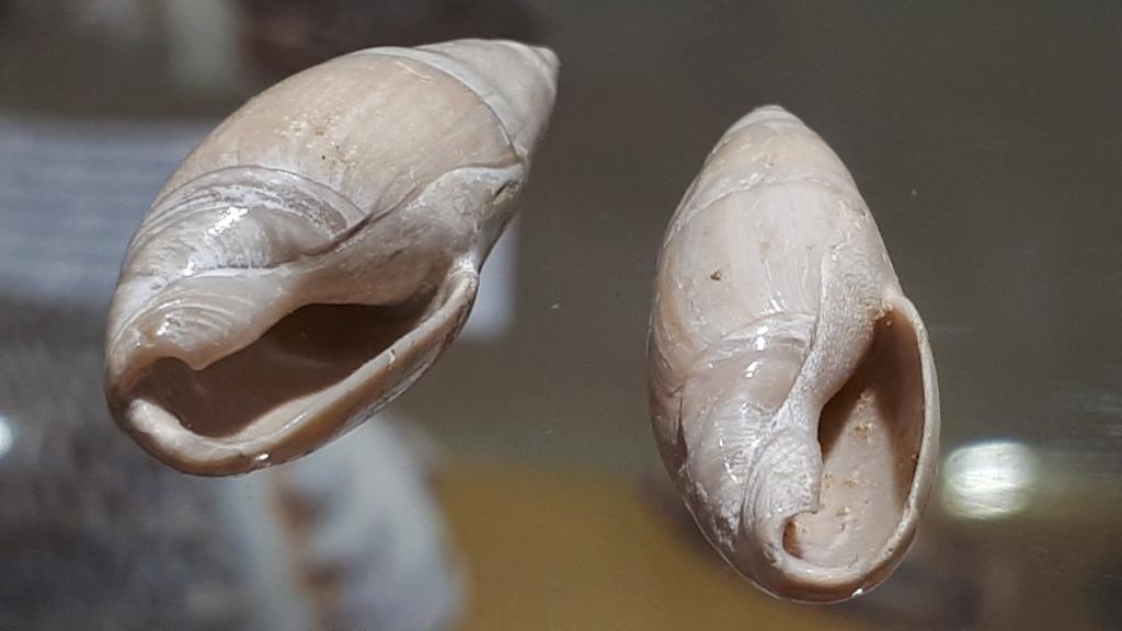 Olividae - † Spirancilla buccinoides (Lamarck, 1803) 20200114