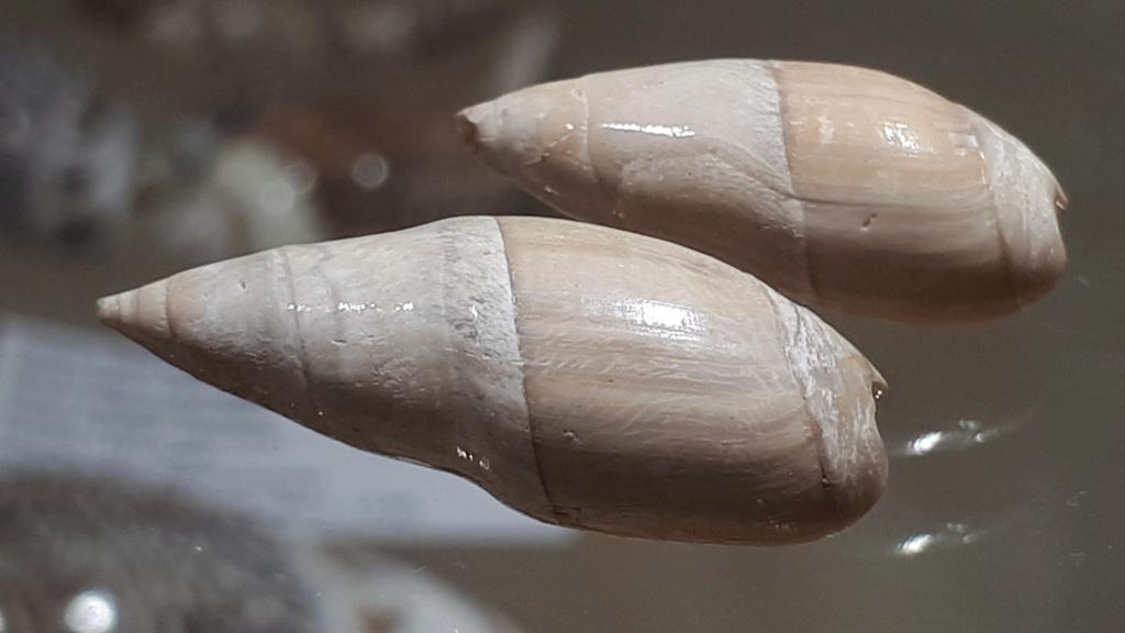 Olividae - † Spirancilla buccinoides (Lamarck, 1803) 20200115