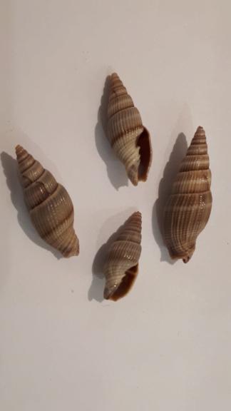 Vexillum acuminatum - (Gmelin, 1791) 20200116