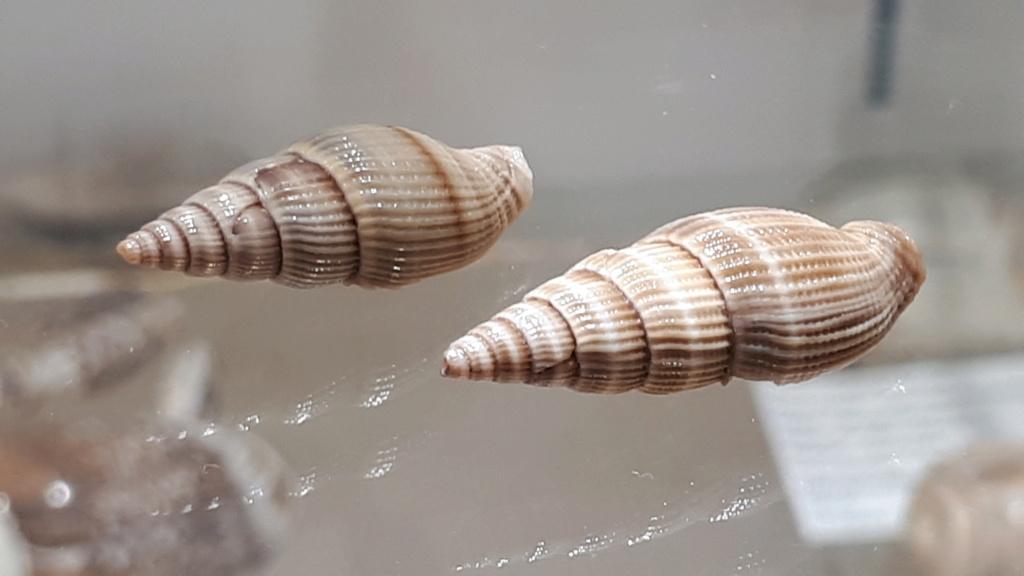 Vexillum acuminatum - (Gmelin, 1791) 20200117