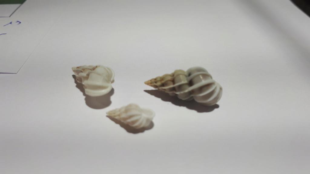 Gyroscala lamellosa (LAMARCK, 1822) 20200610
