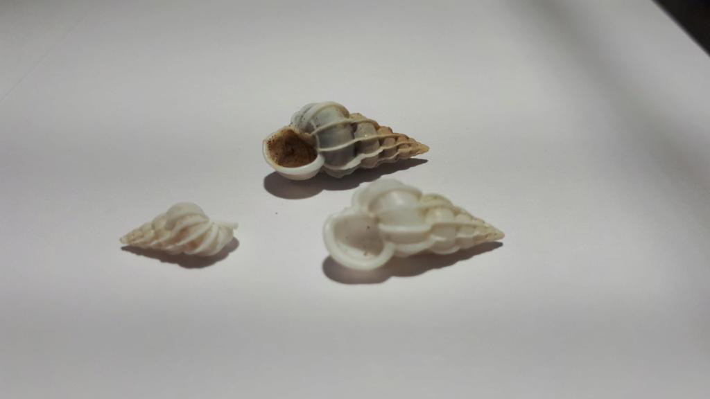 Gyroscala lamellosa (LAMARCK, 1822) 20200611