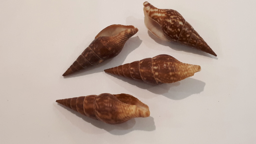 Cotonopsis phuketensis (Kosuge, Roussy & Muangman, 1998) 20200637