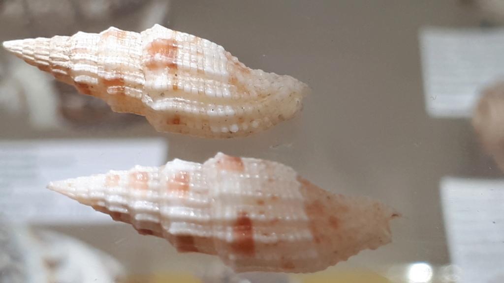 Vexillum mirabile angulosa (var.) - (Reeve, 1845) 20200664