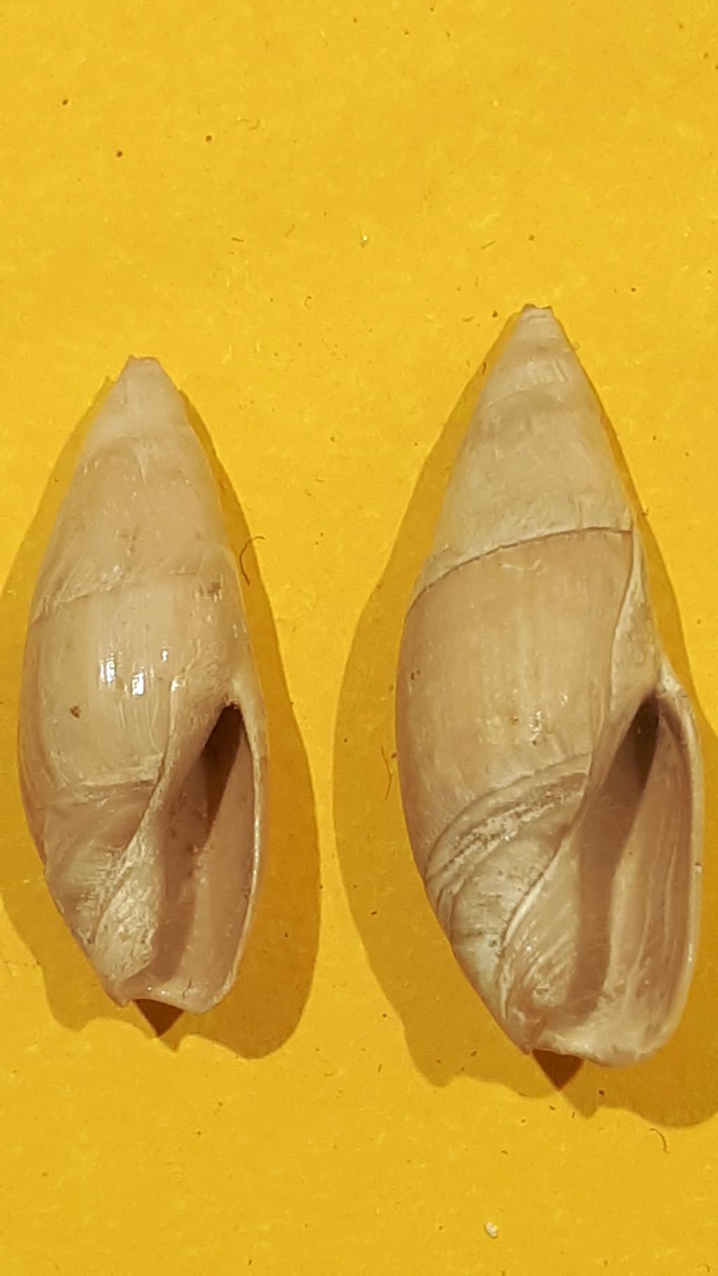 Olividae - † Spirancilla buccinoides (Lamarck, 1803) 20200715