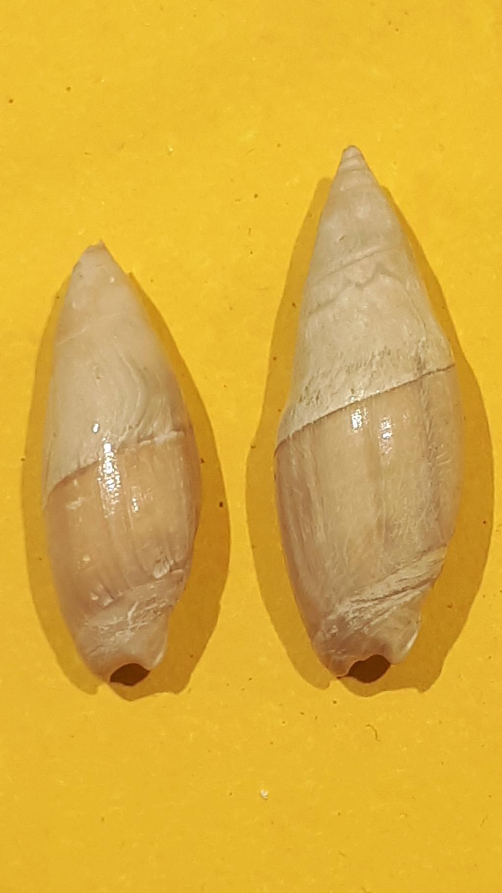 Olividae - † Spirancilla buccinoides (Lamarck, 1803) 20200716