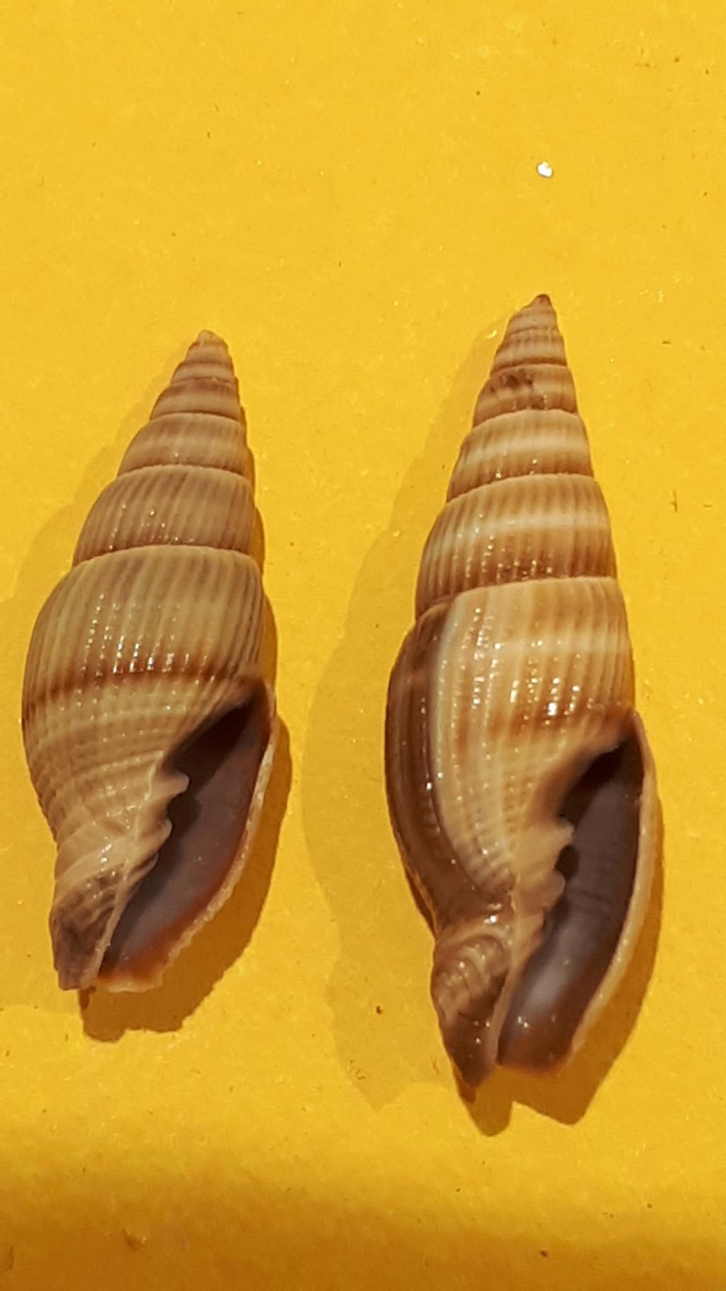 Vexillum acuminatum - (Gmelin, 1791) 20200717
