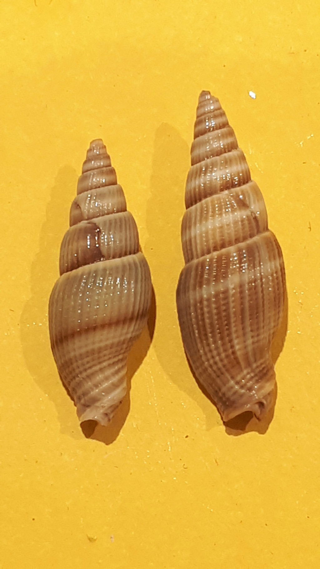 Vexillum acuminatum - (Gmelin, 1791) 20200718