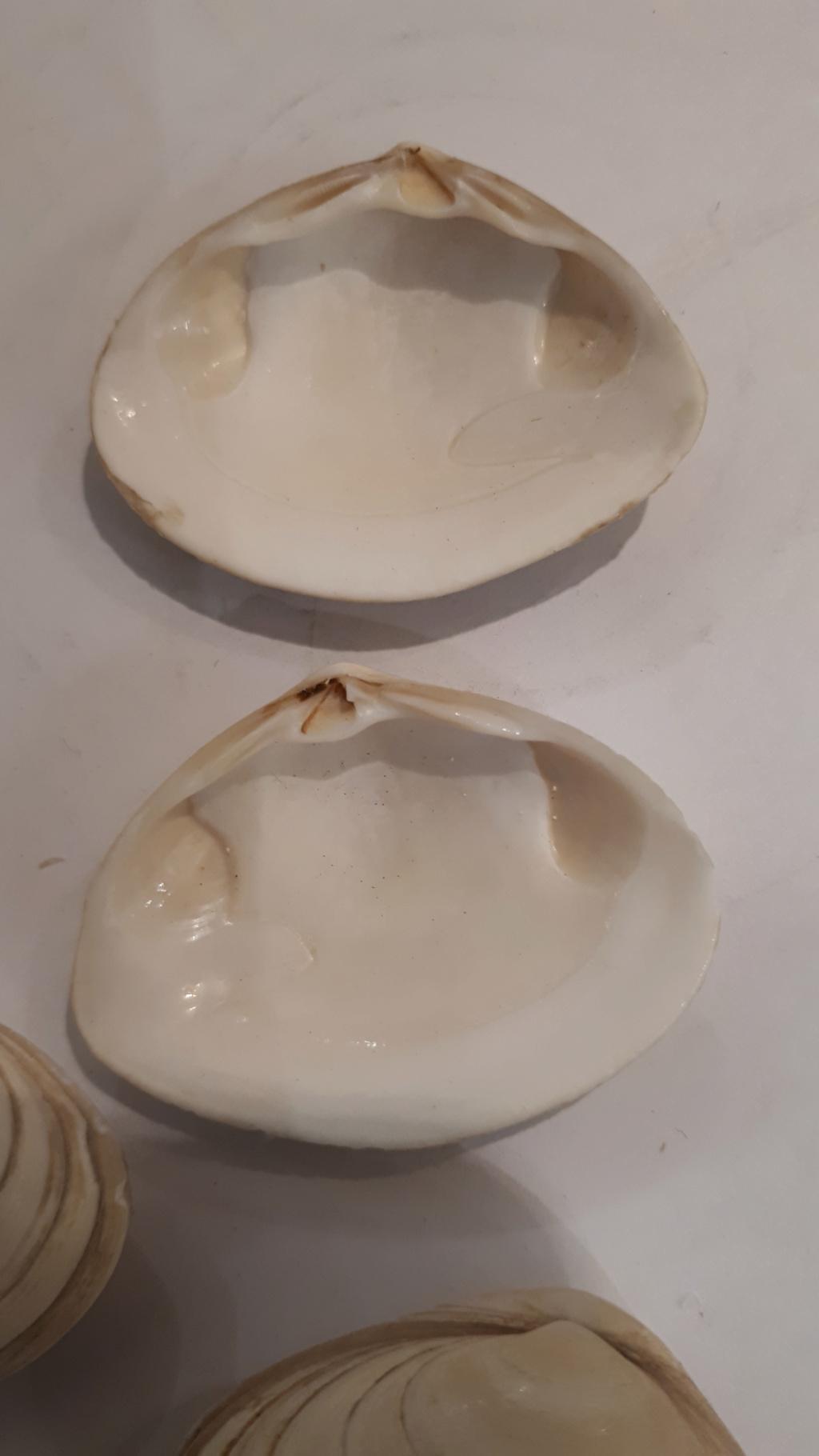 Spisula solida - (Linnaeus, 1758)  20200739