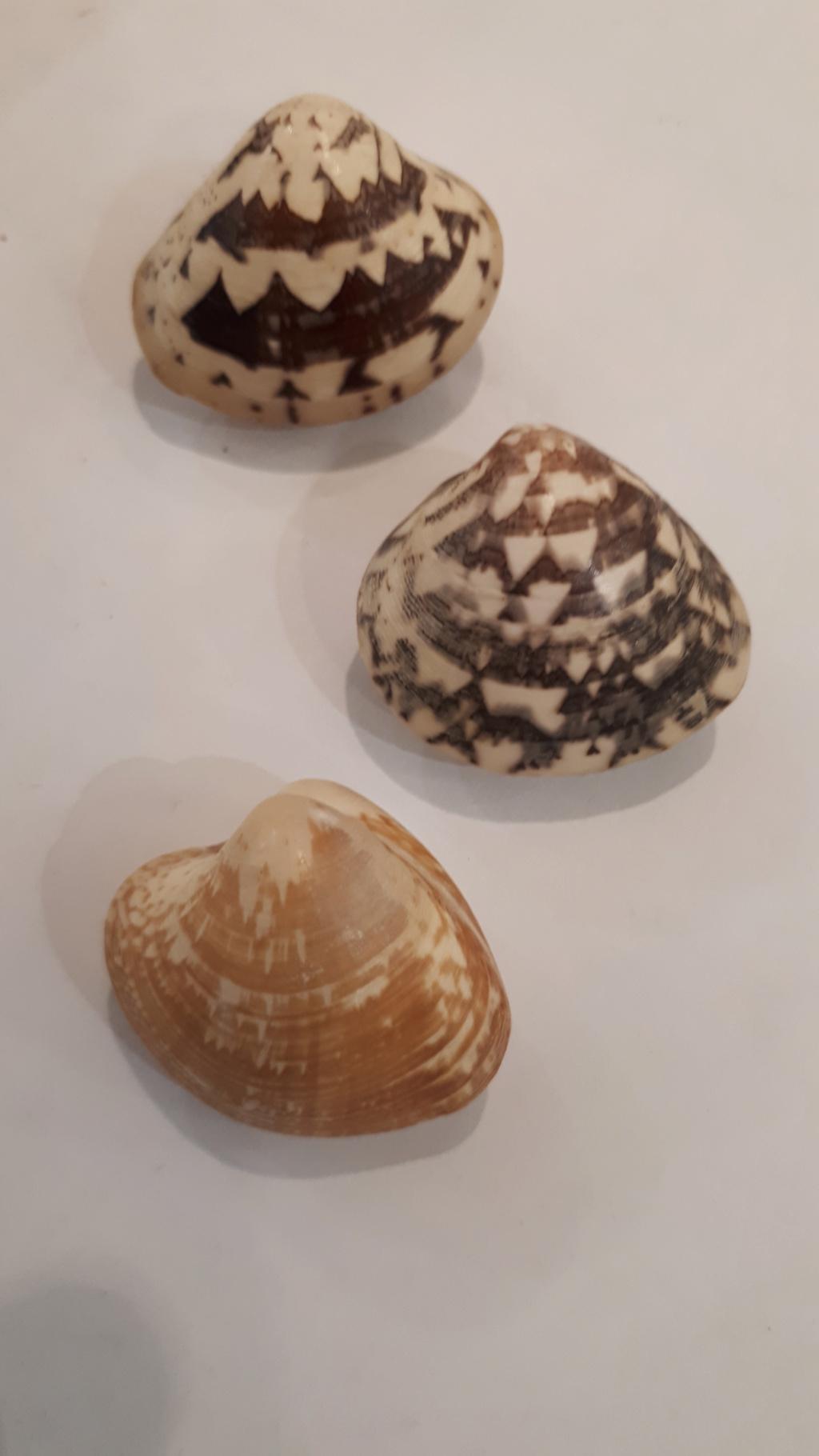 Lioconcha fastigiata - (G. B. Sowerby II, 1851)  20200740